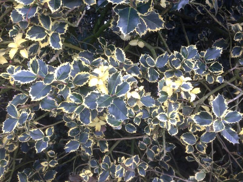 Stechpalme Pyramidalis Aurea Marginata Ilex Aquifolium