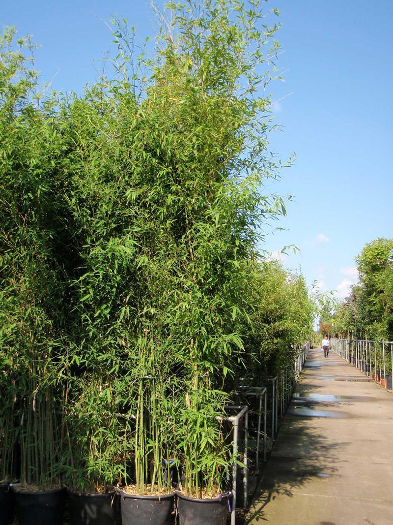 knoten bambus bambus phyllostachys bambus immergr ne. Black Bedroom Furniture Sets. Home Design Ideas
