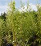 grüner Bambus