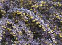 berberis-thunbergii-atropurpurea4-kl