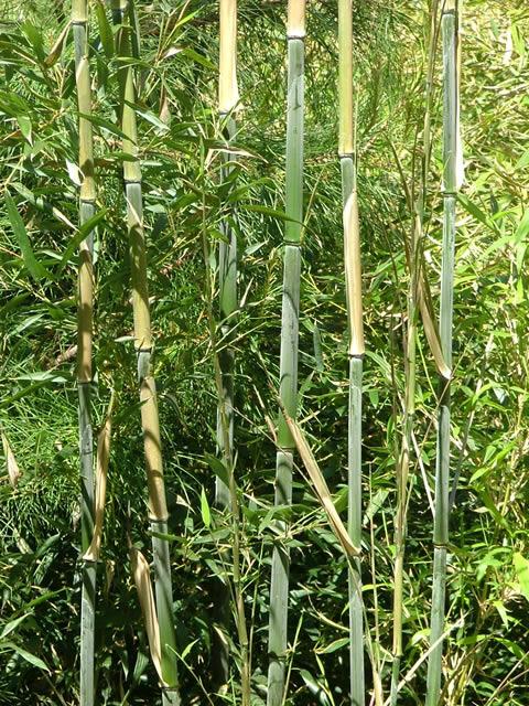 bambus bissetii bambus phyllostachys bambus immergr ne heckenpflanzen heckenpflanzen. Black Bedroom Furniture Sets. Home Design Ideas