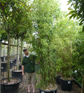 Bisset-Bambus