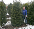 Ilex Blue Angel