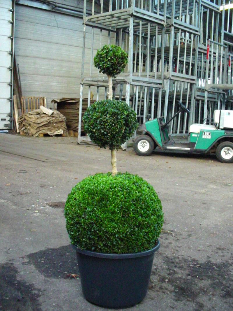 buchsbaum 39 mehrfachkugeln 39 buchsbaum buxus immergr ne heckenpflanzen heckenpflanzen. Black Bedroom Furniture Sets. Home Design Ideas