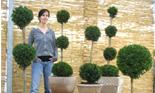 Buchsbaum Kugel