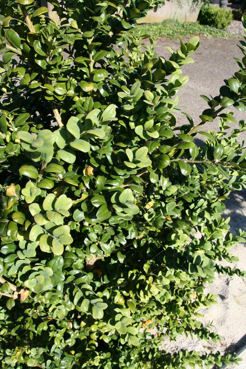 gro bl ttriger buchsbaum 39 rotundifolia 39 buchsbaum. Black Bedroom Furniture Sets. Home Design Ideas