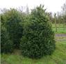 Buchsbaum Rotundifolia