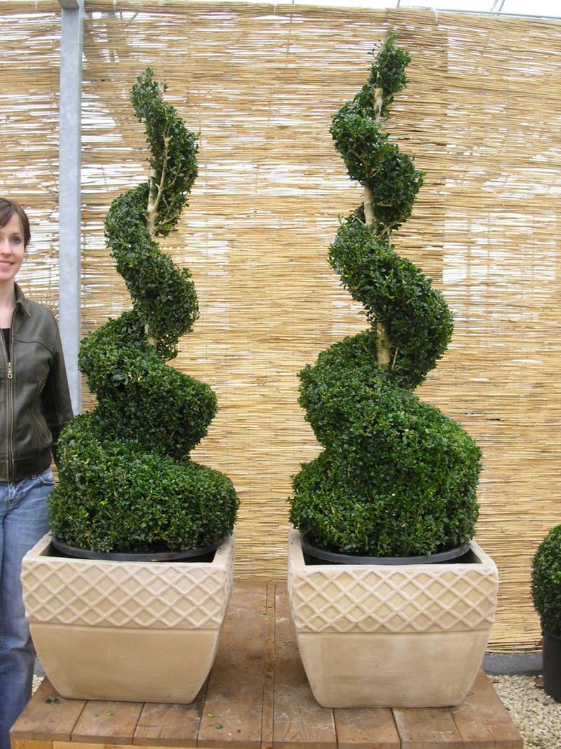 buchsbaum 39 spiralen 39 buchsbaum buxus immergr ne. Black Bedroom Furniture Sets. Home Design Ideas