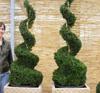 Buchsbaum Pyramide