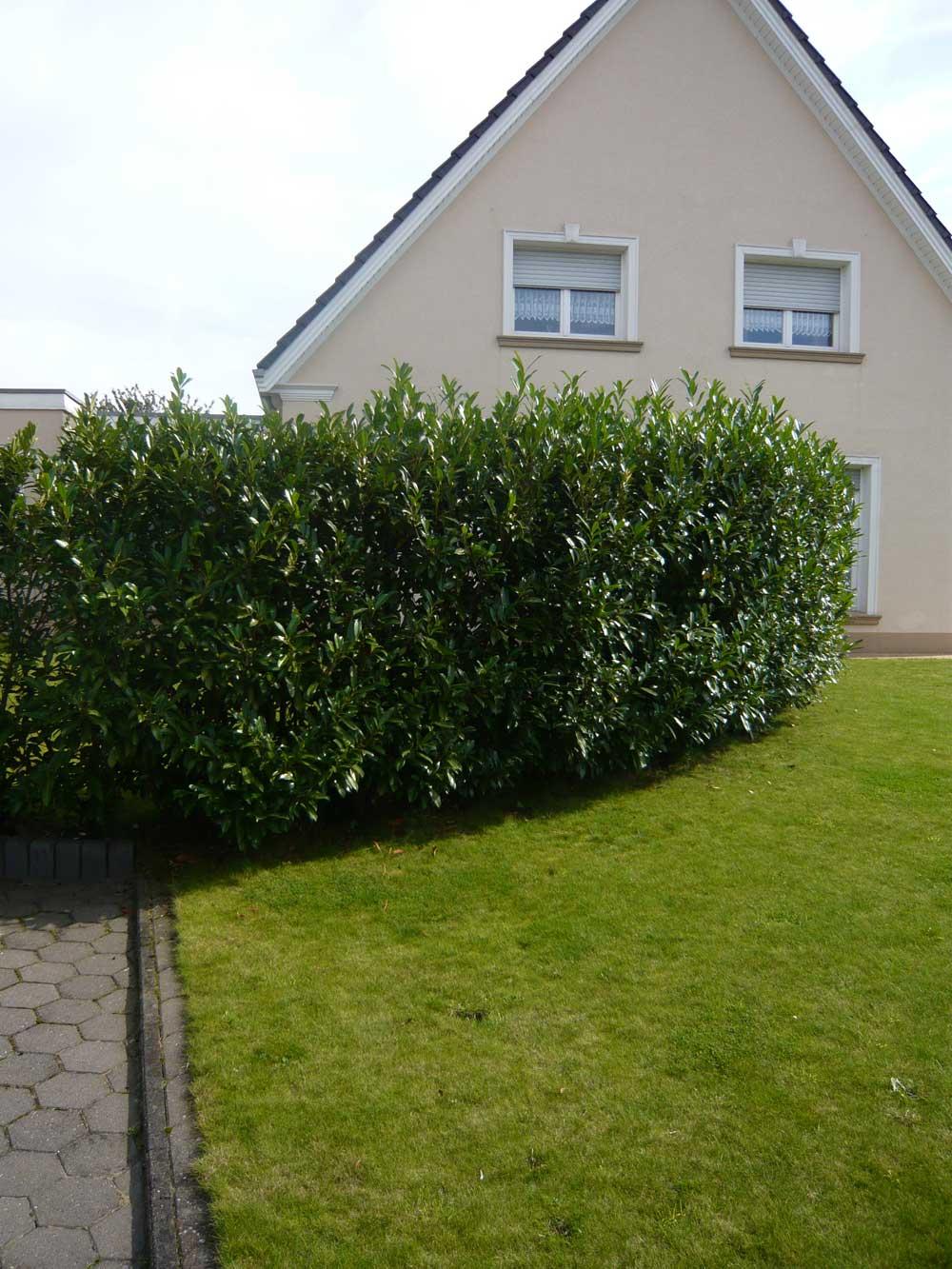 kirschlorbeer 39 caucasica 39 kirschlorbeer prunus immergr ne heckenpflanzen heckenpflanzen. Black Bedroom Furniture Sets. Home Design Ideas