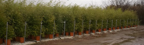 Goldhaar-Bambus