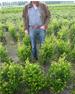 Ilex Green Hedge