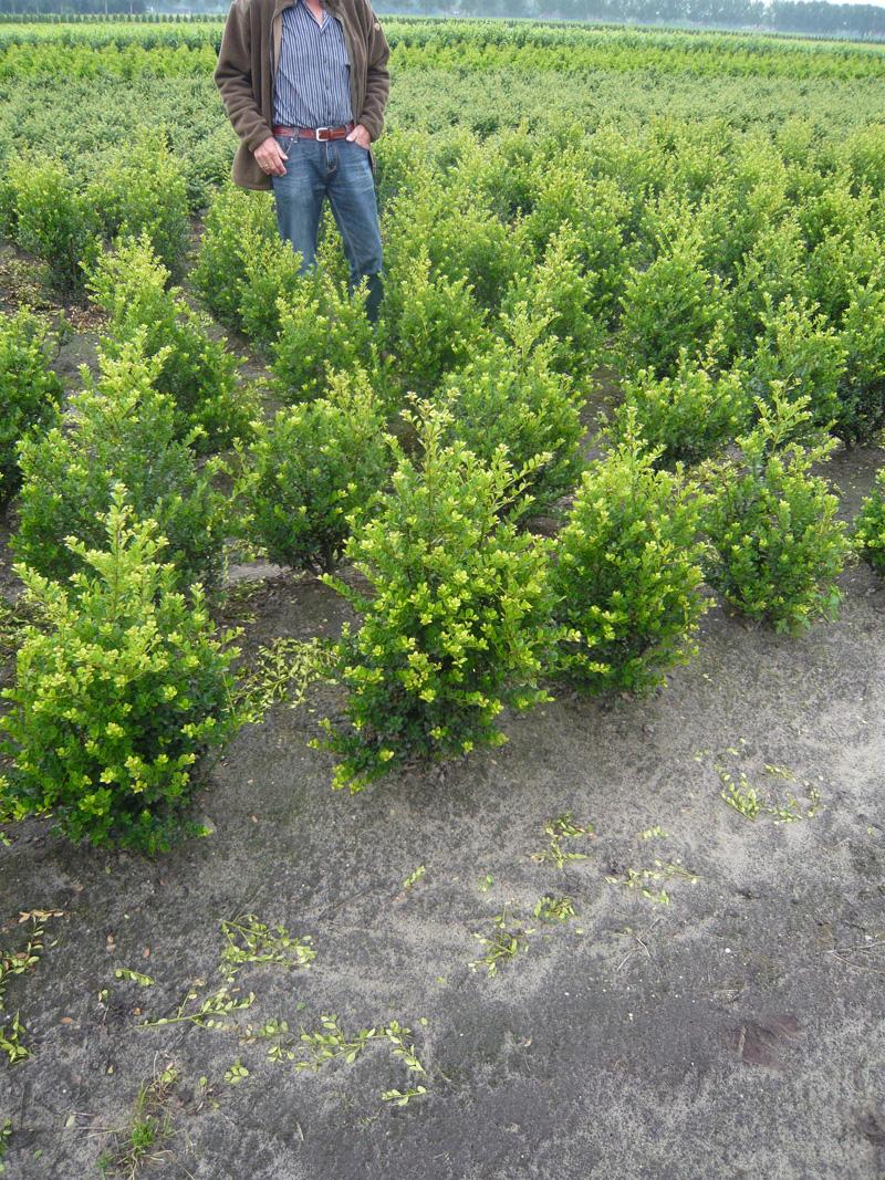 kleinlaubige Japan Hülse Green Hedge