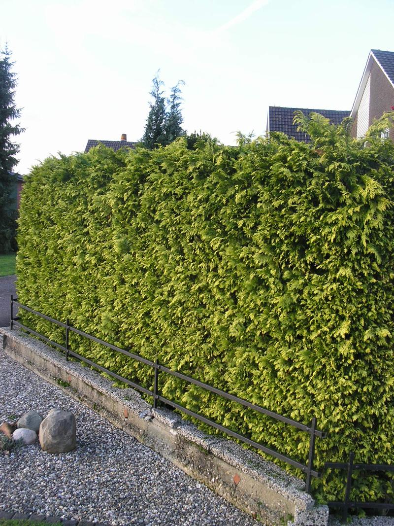 gelbe scheinzypresse 39 ivonne 39 zypressen immergr ne heckenpflanzen heckenpflanzen profi. Black Bedroom Furniture Sets. Home Design Ideas