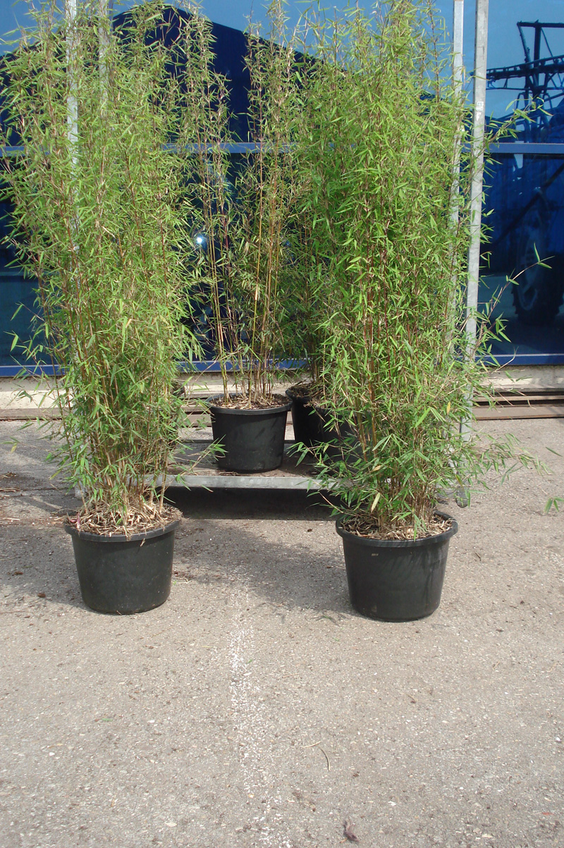 jade bambus 39 jiuzhaigou 1 39 bambus fargesia bambus. Black Bedroom Furniture Sets. Home Design Ideas