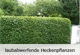 Heckenpflanzen Profi - Top-Qualität aus der Baumschule
