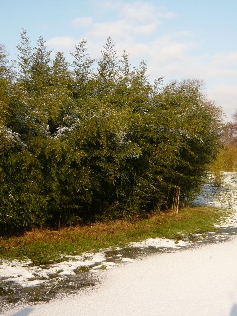 Brauner Flecken Bambus Boryana Phyllostachys Nigra Boryana