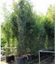 schwarzer Bambus