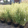 Garten-Bambus