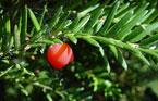 Taxus baccata Kugel