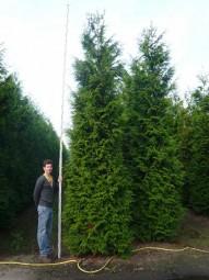 Lebensbaum 'Atrovirens' / Thuja plicata 'Atrovirens' 450-500 cm Solitär mit Drahtballierung
