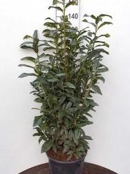 Kirschlorbeer 'Genolia' / Prunus laurocerasus 'Genolia' 125-150 cm im 20-Liter Container