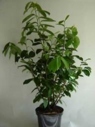 Kirschlorbeer 'Novita' / Prunus laurocerasus 'Novita' 60-80 cm im 5-Liter Container