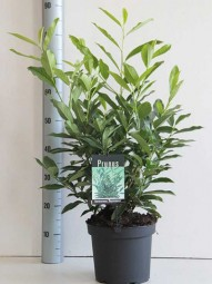 Prunus laurocerasus 'Reynvaanii' / Kirschlorbeer 'Reynvaanii' 50-60 cm 5-Liter Container