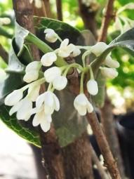 Süße Duftblüte / Osmanthus fragrans (weiße Blüte) 60-80 cm im 10-Liter Container