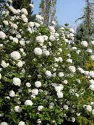 Viburnum carlcephalum / Großblumiger Duft-Schneeball