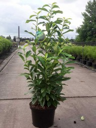 Prunus laurocerasus 'Genolia' / Kirschlorbeer 'Genolia' 60-80 cm im 7-Liter Container