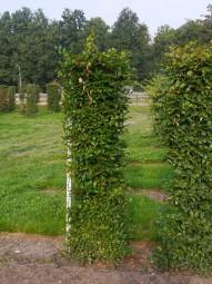 Hainbuche Fertighecke Heckenelement / Carpinus betulus 200 cm x 50 cm x 50 cm mit Drahtballierung