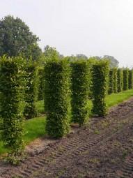 Hainbuche Fertighecke Heckenelement / Carpinus betulus 250 cm x 50 cm x 50 cm mit Drahtballierung
