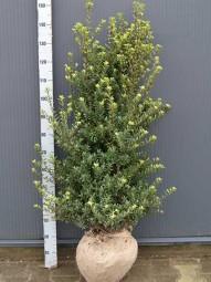 Ilex crenata 'Maxima' / Buchsblättrige Japanische Hülse 'Maxima' 100-125 cm mit Ballierung