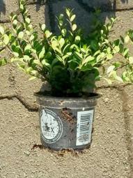 Buchsblättrige Japanische Hülse 'Dark Green' / Ilex crenata 'Dark Green' 15-20 cm im 1-Liter Container