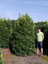 Kirschlorbeer 'Herbergii' / Prunus laurocerasus 'Herbergii' 250-300 cm Solitär mit Drahtballierung