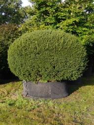 Heimische Eibe 'Kugel' / Taxus baccata 'Kugel' 225-250 cm mit Drahtballierung