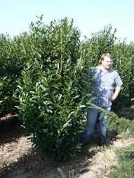 Kirschlorbeer 'Reynvaanii' / Prunus laurocerasus 'Reynvaanii' 200-250 cm Solitär mit Drahtballierung