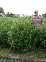 Kirschlorbeer 'Herbergii' / Prunus laurocerasus 'Herbergii' 125-150 cm Solitär mit Ballierung