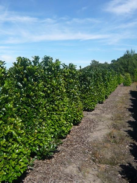 Kirschlorbeer Etna Prunus Laurocerasus 80 100 Cm Solitar