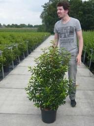 Portugiesischer Kirschlorbeer / Prunus lusitanica 'Angustifolia' 100-125 cm im 15-Liter Container