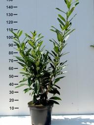 Kirschlorbeer 'Caucasica' / Prunus laurocerasus 'Caucasica' 80-100 cm im 5-Liter Container