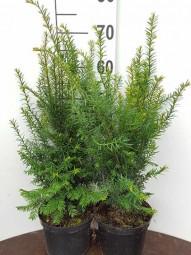 Heimische Eibe / Taxus baccata 30-40 cm im 3-Liter Container