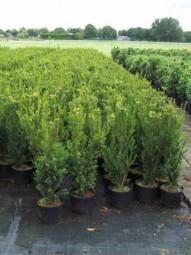 Fruchtlose Becher-Eibe 'Hillii' / Taxus media 'Hillii' 60-80 cm im 4-Liter Container