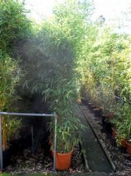 Knoten-Bambus / Phyllostachys aurea 200-250 cm im 30-Liter Container