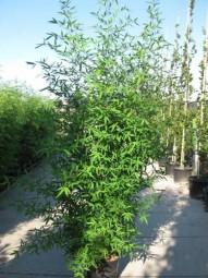 Knoten-Bambus / Phyllostachys aurea 250-300 cm im 35-Liter Container