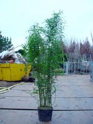 Bisset Bambus / Phyllostachys bissetii 150-175 cm im 20-Liter Container