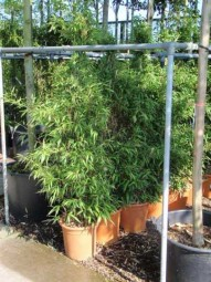Schwarzer Bambus / Phyllostachys nigra 175-200 cm im 20-Liter Container