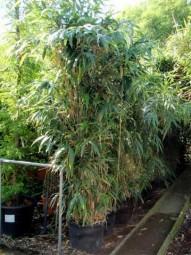 Japanischer Pfeilbambus / Pseudosasa japonica 175-200 cm im 50-Liter Container