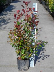 Glanzmispel / Photinia fraseri 'Red Robin' 80-100 cm im 10-Liter Container